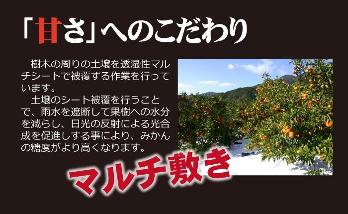 木熟みかん4