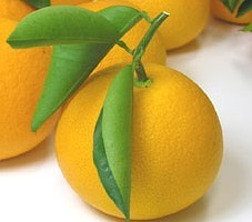 春柑橘 さつきはっさく