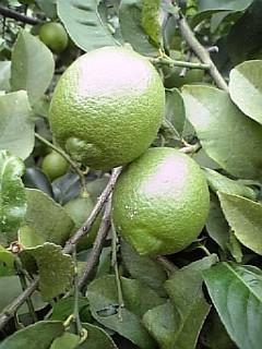 国産 レモン1